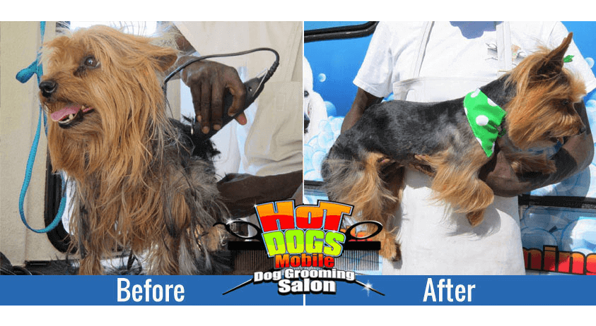 yorkie-Before-and-after
